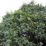 L'arbre de mandarine Dammuso