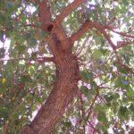Albero del gelso in un giardino siciliano