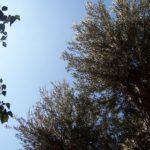 Jardin avec oliviers | Il Dammuso chambres pres Palermo