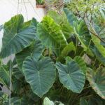 Foglie del paradiso in giardino al dammuso