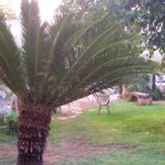 Pianta di cicas in giardino